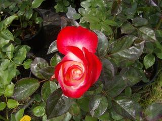 Rose - Rose, Schnittblume, Knospe, Rosengewächs, Naturform, Draufsicht, Rosenblüte, Schnittblume