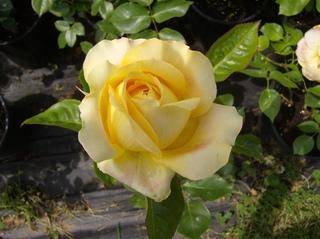 Rose - Rose, Schnittblume, Knospe, Rosengewächs, Naturform, Draufsicht, Rosenblüte, Schnittblume, Blüte, Blume