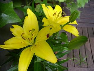 Lilienblüten mit Insekten - Lilie, Garten, Blume, gelb, Insekt, Wanze