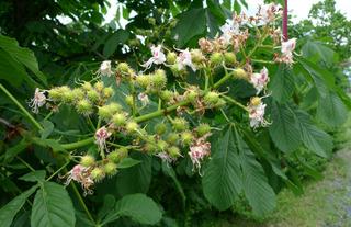 Kastanienblüten - Kastanie, Rosskastanie, Blüten, Blütenstand, rot, grün