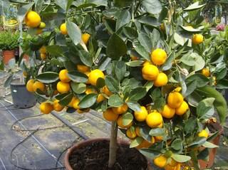 Mandarinenbaum - Zitrusgewächse, Zitrusfrüchte, Mandarine, Rautengewächs, Frucht, orange, Hesperidien
