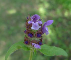 Braunelle - Braunelle, Prunella vulgaris, Brunelle, Lippenblütler, Blüte, Kronröhre, zwittrig