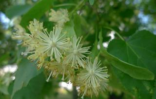 Lindenblüten - Laubbaum, Linde, Blüte, Sommerlinde, Heilpflanze