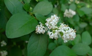 Liguster - Liguster, Hecke, Strauch, Ölbaumgewächs, Rainweide, rispig, Blütenstand