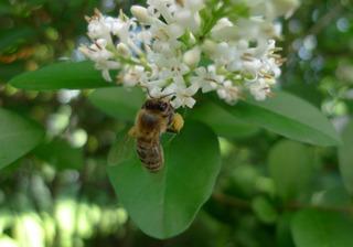 Ligusterblüte - Liguster, Blüte, Biene, Honigbien, Strauch, Hecke, Ölbaumgewächs, Rainweide, rispig, Blütenstand