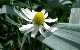 Kamillenblüte - Matricaria recutita, Heilpflanze, Kamille, Kräutertee, Korbblütler, einjährig, krautig, Tee, ätherische Öle