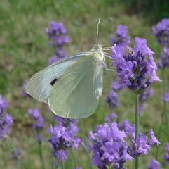 Großer Kohlweissling #1 - Schmetterling, Falter, Insekten, Wiese, Blume, Kohlweissling, Kohlweißling