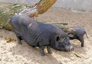 Hängebauchschwein im Zoo  - Hängebauchschwein, Schwein, Vietnamesisches Hängebauchschwein, Hausschwein, klein, faltig, Bauch, dick, Junges, klein, Mutter, Säugetier