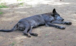 Wolf im Zoo  - Wolf, Canis lupus, Hund, Hundeart, wild, Wildtier, Raubtier, schlafen, Ruhe, Säugetier, Rudel, Märchen, gefährlich