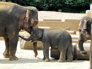 Elefanten im Zoo  - Elefant, indischer Elefant, asiatischer Elefant, Elephas maximus, Baby, Junges, Kind, drei, Rüssel, grau, groß, klein, Familie, Mutter, Schreibanlass, Wildtier, Asien