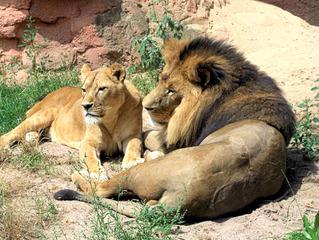Löwenpaar im Zoo  - Löwe, Panthera leo, Löwin, Paar, Wildtier, Katze, Großkatze, Afrika, Rudel, Mähne, Fell, Fleischfresser, wild, liegen, Ruhe
