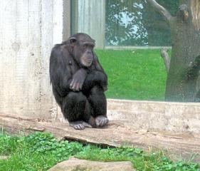 Schimpanse - Schimpanse, Schimpansen, Menschenaffen, Hominidae, Affen, sitzen, müde, Allesfresser, Wildtier, Afrika