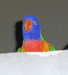 Lori im Zoo  - Lori, Loriinae, Papagei, Papageienvogel, bunt, rot, blau, gelb, grün, Vogel, fliegen, Höhlenbrüter, Wildvogel