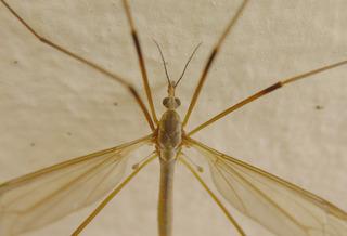 Schnake #2 - Schnake, Tipulidae, Zweiflügler, Bachmücke, Pferdemücke, Elefantenmücke, Langbeinmücke, Stelzmücke, Mücke