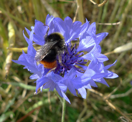 Steinhummel - Steinhummel, Hummel, Insekt, Blüte, Hautflügel, Kornblume