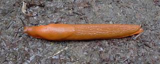 Rote Wegschnecke #1 - Schnecke, Nacktschnecke, Weichtier, Fühler, ziegelrot, Schädling