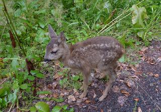 Rehkitz - Reh, Wild, Schalenwild, Jungtier, Kitz, Bambi, Paarhufer, Wiederkäuer