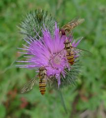 Gemeine Kratzdistel   #1 - Asternartige, Korbblütler, Klettfrucht, Cirsium vulgare, Schwebfliege, Distel, Kratzdistel, drei, Menge