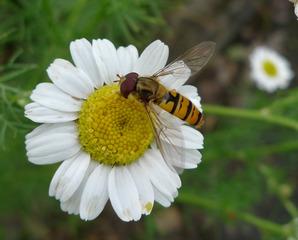 Gemeine Winterschwebfliege - Insekten, Fliege, wespenartig, Syrphidae, Schwebfliege, Fliege, Zweiflügler, Syrphus ribesii, Deckelschlüpfer, Fluginsekt, Insekt, Bestäuber, volucella zonaria
