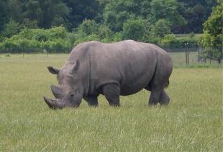 Nashorn - Nashorn, Rhinoceros, Unpaarhufer, Säugetier, Pflanzenfresser