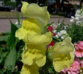 Löwenmäulchen #2 - Löwenmäulchen, Antirrhinum majus, Sommerblume, gelb, Wegerichgewächs, Löwenmäuler