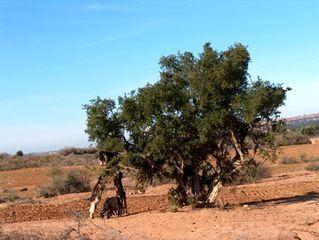 Arganienbaum (Sapotengewächs - Ericales) - Arganie, Ziegenbaum, Marokko, endemisch, Öl, Arganienbaum, Sapotengewächs