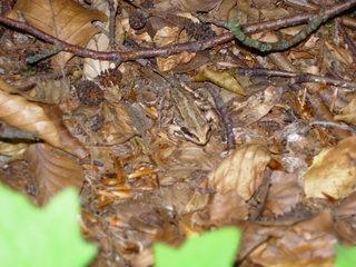 Frosch #1 - Frosch, Anpassung, anpassen, Umwelt, Tarnung, Tarnfarbe