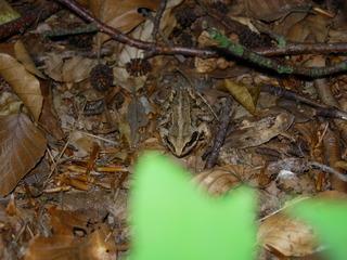 Frosch #2 - Frosch, Anpassung, anpassen, Umwelt, Tarnung, Tarnfarbe