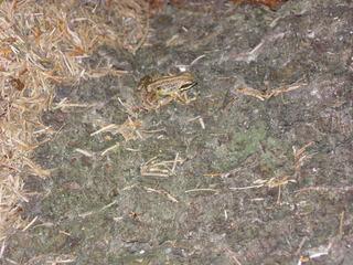 Frosch #4 - Frosch, Anpassung, anpassen, Umwelt, Tarnung, Tarnfarbe