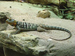 Leguan - Leguan, Stachelleguan, Amerika, Sceloporus cyanogenys, klettern, Reptil