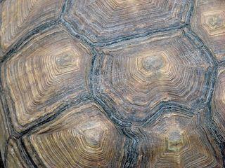 Suchbild - Landschildkröte, Schildkröte, Panzer, Struktur, Spornschildkröte, Geochelone sulcata, Riesenschildkröte, Reptil, Afrika, Muster, Horn, Struktur