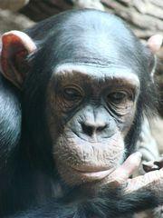 Schimpanse - Schimpanse, Schimpansen, Menschenaffen, Hominidae, Affe, Kopf, traurig, Allesfresser, Wildtier, Afrika, Primat, Vorderansicht