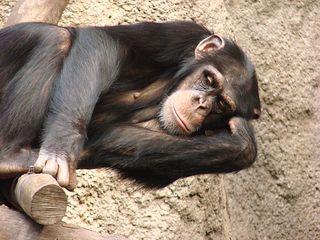 Schimpanse - Schimpanse, Schimpansen, Menschenaffen, Hominidae, Affen, liegen, müde, Allesfresser, Wildtier, Afrika, Primat