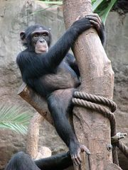 Schimpanse - Schimpanse, Schimpansen, Menschenaffen, Hominidae, Affen, sitzen, klettern, Allesfresser, Wildtier, Afrika, Primat