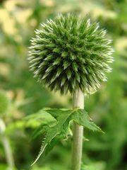 Kugeldistel - Distel, Kugeldistel, Echinops, Korbblütler, Asternartige, krautig, Pflanze, Rhizom, stachelig, Stacheln, silbrig