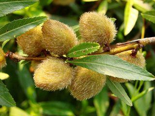 Mandelbaum - Mandel, Prunus dulcis, Rosengewächs, Steinfrucht, Schale, behaart, Kern
