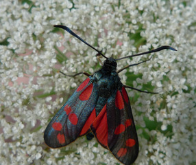 Erdeichelwidderchen - Zygaena filipendulae, Falter, Tagfalter, Schmetterling