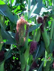 Mais - Mais, Kukuruz, Stängel, Stiel, Kolben, Futter, Tierfutter, Nahrungsmittel, Landwirtschaft, Anbau, Pflanze