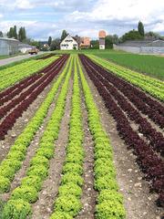 Salatanbau auf der Reichenau - Salat, Salatkopf, Landwirtschaft, Feld, Anbau, Reihe, Reihen, Perspektive, Fluchtpunkt, grün, rot, Eichblattsalat, Nahrungsmittel, Beilage