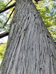 Stamm einer Sumpfzypresse - Sumpfzypresse, Stamm, Baum, Laubbaum, Gehölz, Rinde, Borke, gedreht, Spirale, Natur, Holz, Struktur, Muster