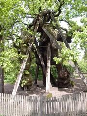 Naturdenkmal  - Naturdenkmal, Naturpark Hohe Mark, Raesfeld-Erle, Stieleiche, germanische Kultstätte, Sturmschäden, Schrägwuchs, Baum
