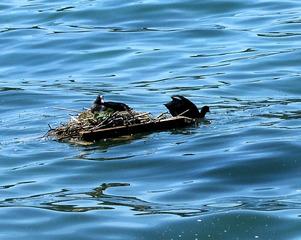 Blässhuhn #1 - Blässhuhn, Blesshuhn, Ralle, Nest, Nestbau, brüten, Brutpflege, Vogel, Wasser, Wasservogel, schwimmen