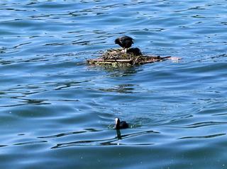 Blässhuhn #2 - Blässhuhn, Blesshuhn, Ralle, Nest, Nestbau, brüten, Brutpflege, Vogel, Wasser, Wasservogel, schwimmen