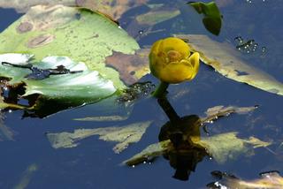 Gelbe Teichrose - Nymphaeaceae, Nupharoideae, Seerosengewächse, Gelbe Teichmummel, Mummel, Teichmummel, gelbe Teichrose, Teichkandel, Wasserpflanze