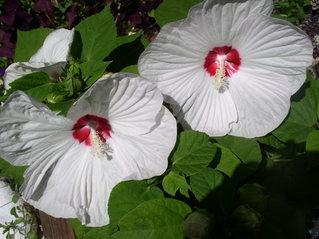 Gartenhibiskus - Blüte, Gartenpflanze, Hibiskus, blühen, weiß, groß