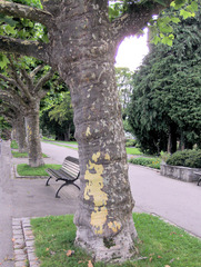 Platanen - Platane, Platanen, Baum, Bäume, Rinde, Borke, Stamm, Laub, Blätter, Krone, Holz, Gehölz, Muster
