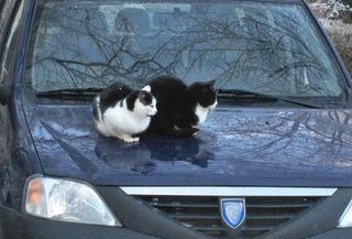Katzen auf der Motorhaube - Katzen, zwei, schwarz, weiß, sitzen, Auto, Motorhaube, warm, kalt, Schreibanlass, Paar, Pärchen