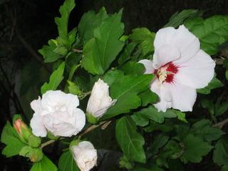 Hibiskusblüte - blühen, Garten, Pflanze, Natur, Blüte, Hibiskus, Eibisch, Malve, Malvengewächs