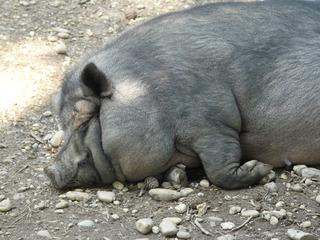 Hängebauchschwein - Schwein, Hängebauchschwein, schlafen, Ruhe, müde