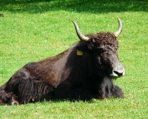 Yak - Yak, Tibet, Wildpark, Zoo, Rind, Rinderrasse